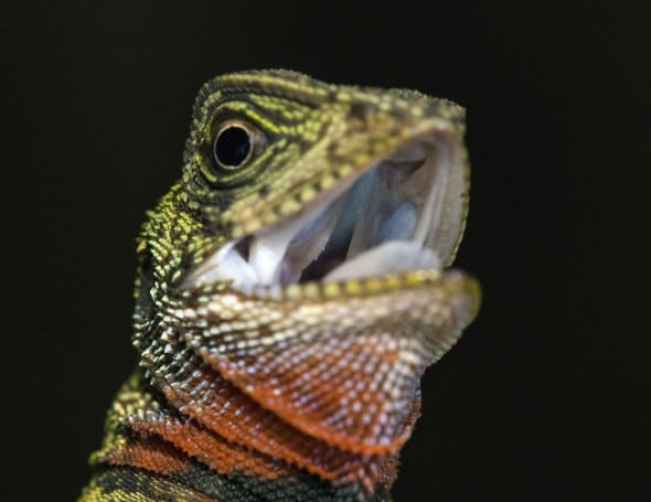 Amazon Forest Dragon - Head Shot