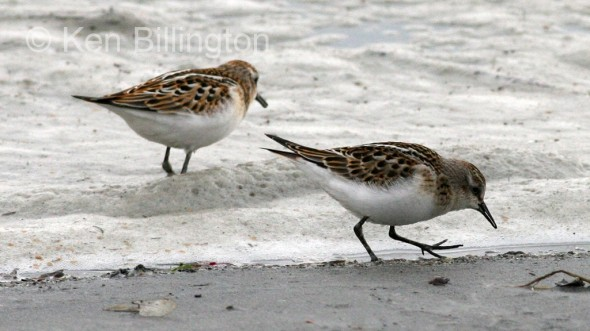 Little Stint (Calidris minuta) (04)