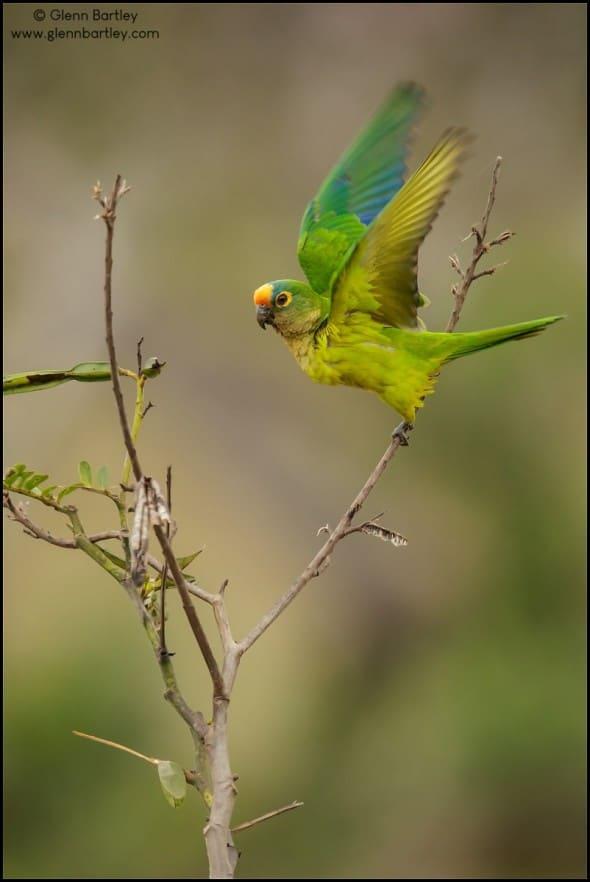 Peach-fronted Parakeet (Eupsittula aurea)