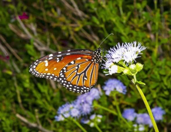 Queen Butterfly on Blue Mist
