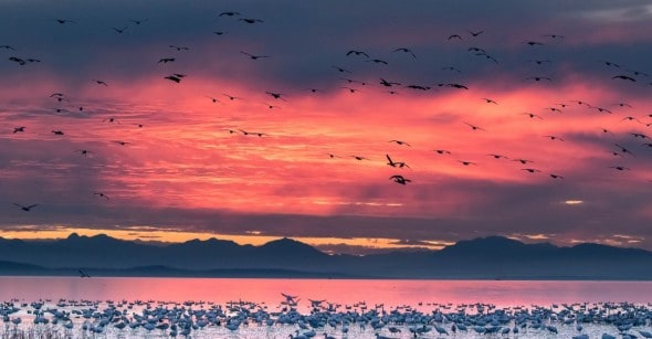 Snow Geese in Pink Sunset
