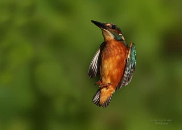 Kingfisher Flies In.
