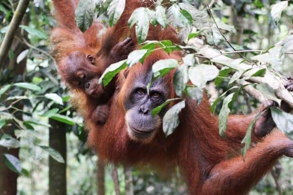 The Sumatra Orangutan
