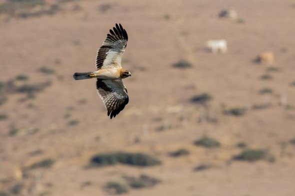 Booted Eagle, Spain