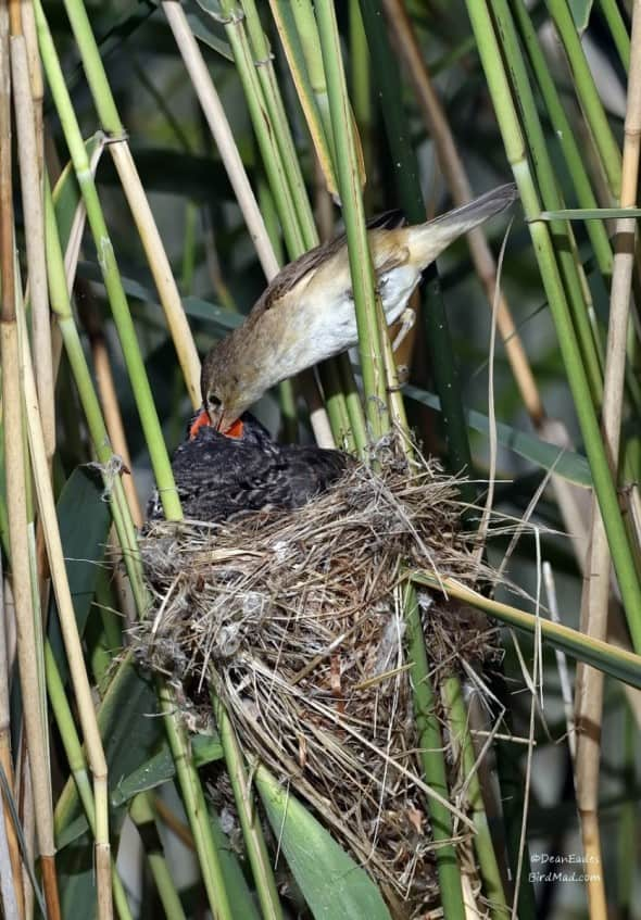 Read warbler feeding Cuckoo
