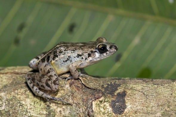 Cocha Chirping Frog