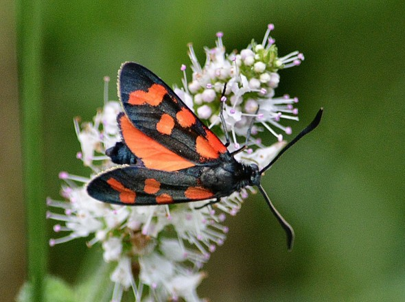 Six-spot Moth