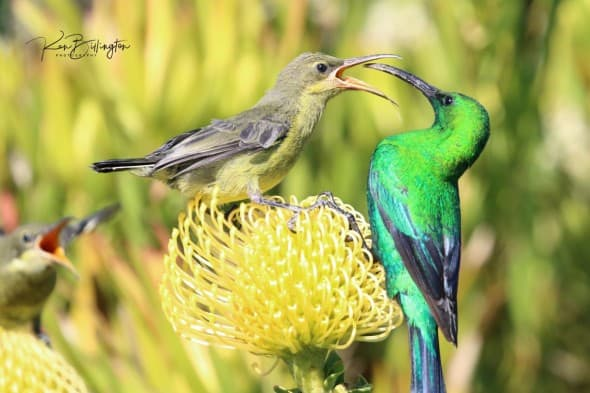 Mama, Feed Me - Malachite Sunbirds