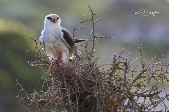Black-shouldered Kite - Elanus Axillaris