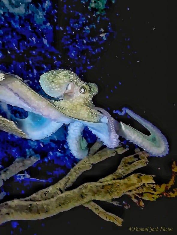 Caribbean Octopus' Night-stroll