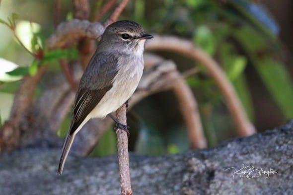 African Dusky Flycatcher - Muscicapa Adusta