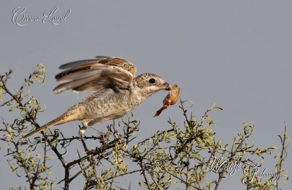 Woodchat Shrike with Toad