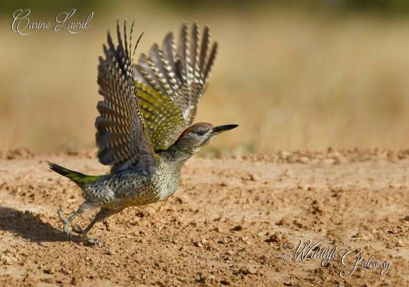 Green Pecker