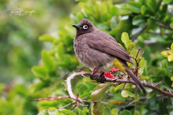 Cape Bulbul (Pycnonotus Capensis)