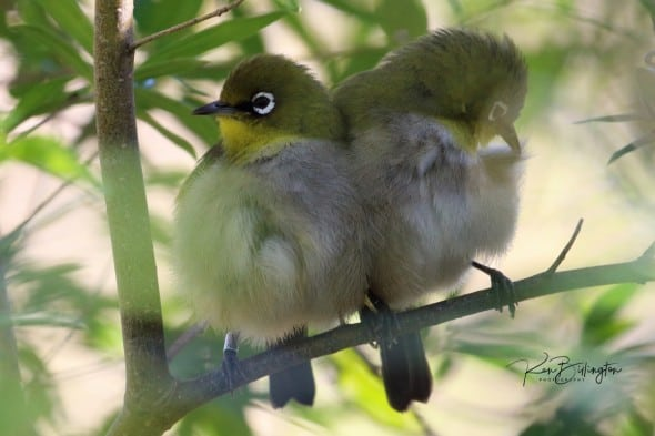 Cape White-eye (Zosterops Virens)