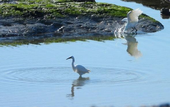 Egrets in Coastal Rock Pool