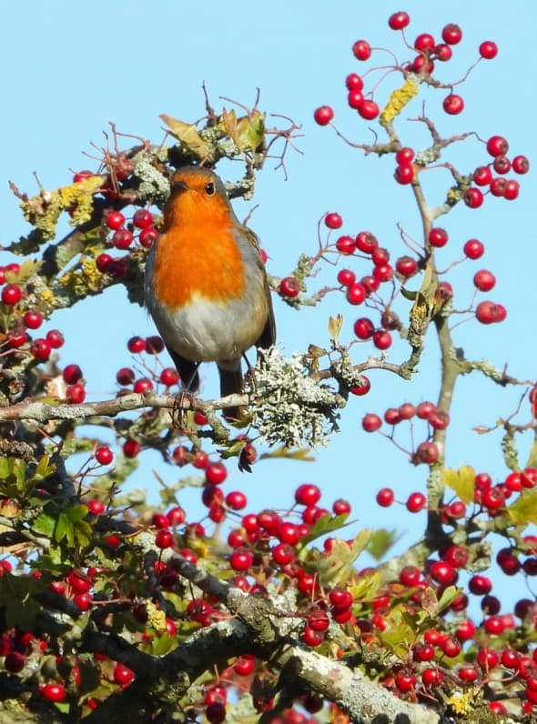 Red Robin Red Berries