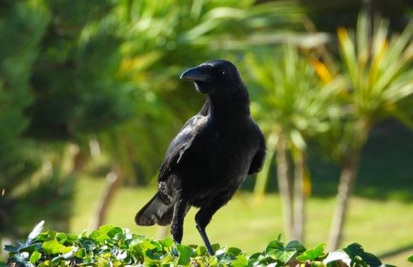 Raven Foraging