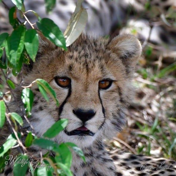 Cheetah of the Savannah