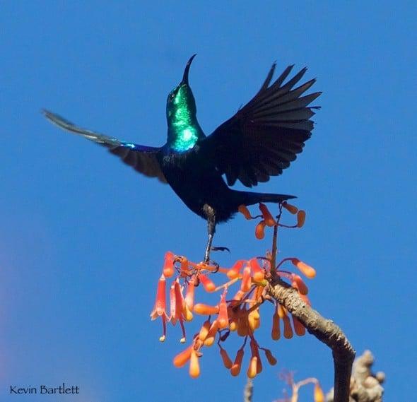 Let's Dance - Malagasy Green Sunbird