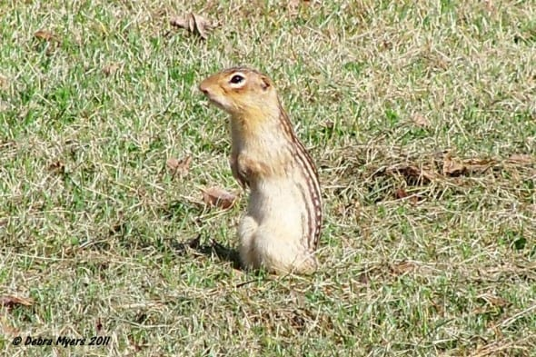 13 Lined Ground Squirrel
