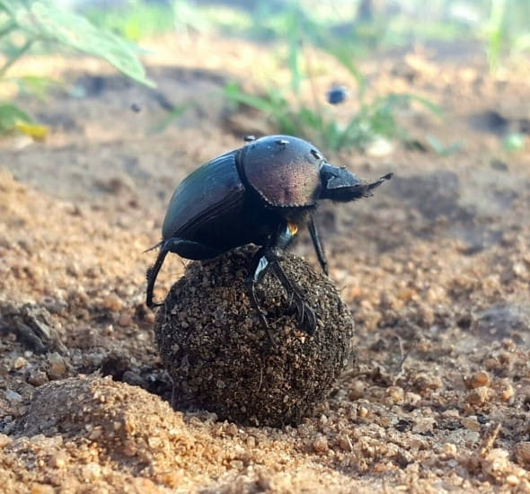 Dung Beetle on Lookout