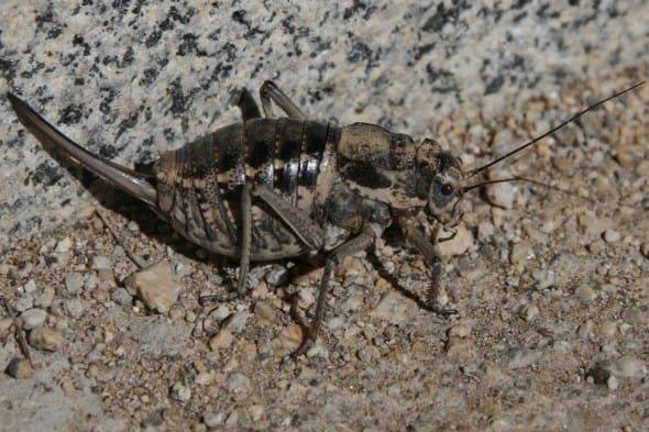 Grasshopper Deracantha Onos Female