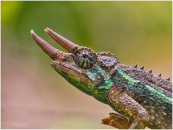 A Male Jackson's Chameleon