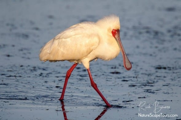 African Spoonbill at Sunrise