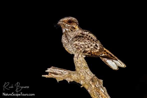 Fiery-necked Nightjar on Song Perch