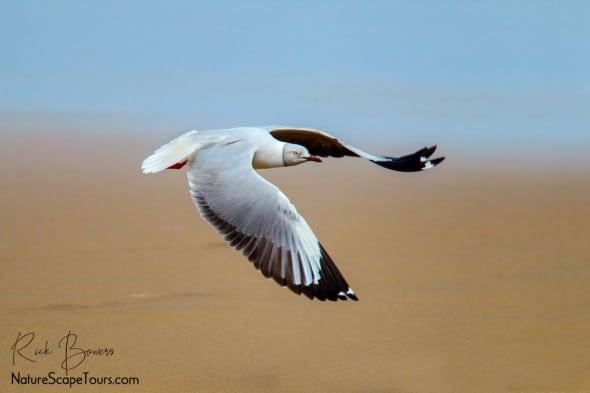 Grey-headed Gull Takeoff