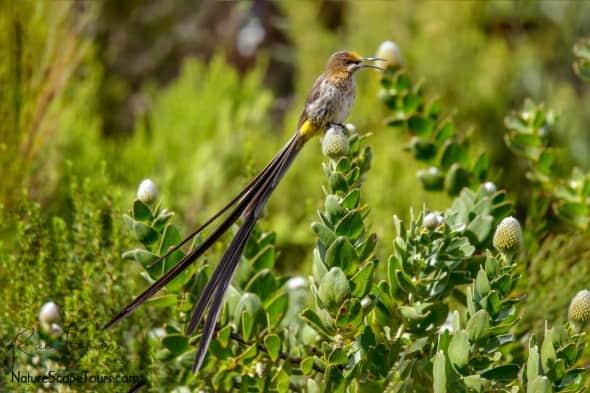 Cape Sugarbird on Protea Flowers