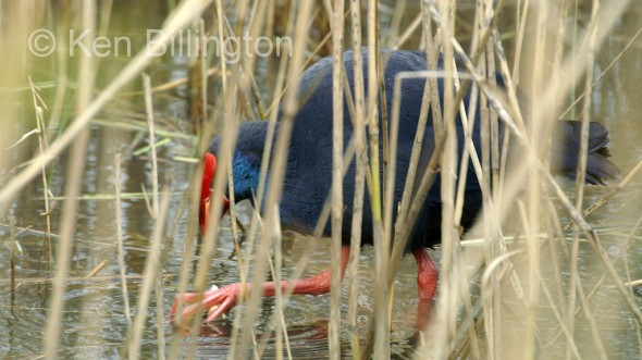 Purple Swamphen (Porphyrio porphyrio) (02)