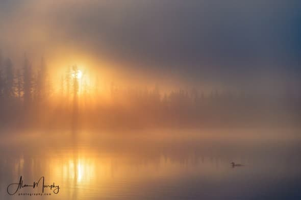 Misty Morning Loon