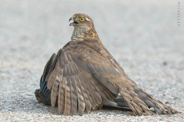 Sparrowhawk with Prey (Jay)