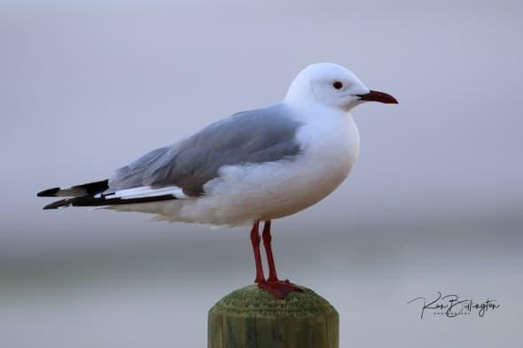 Hartlaub's Gull (Chroicocephalus Hartlaubii)