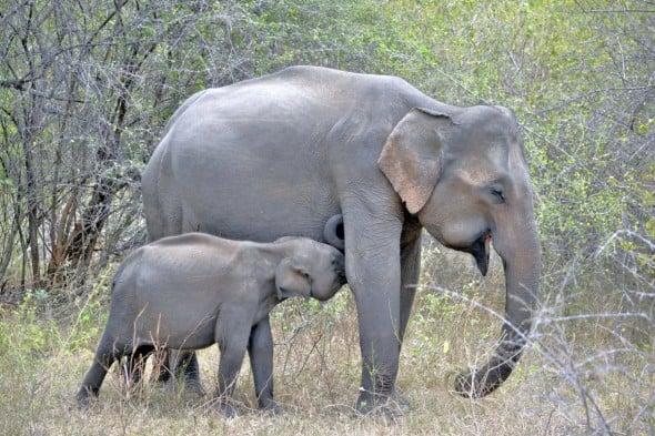 Elephants at Udawalawe Np