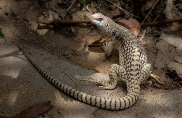 Desert Iguana Smile