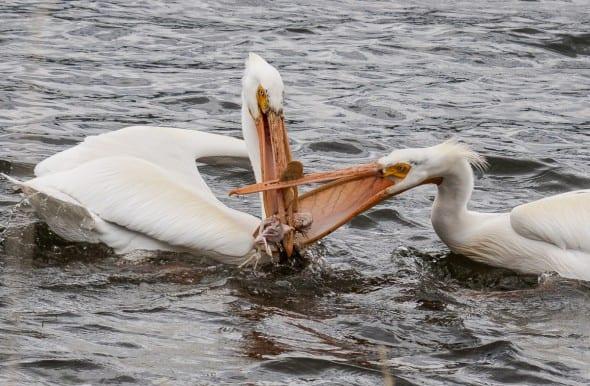 Pelican Larceny