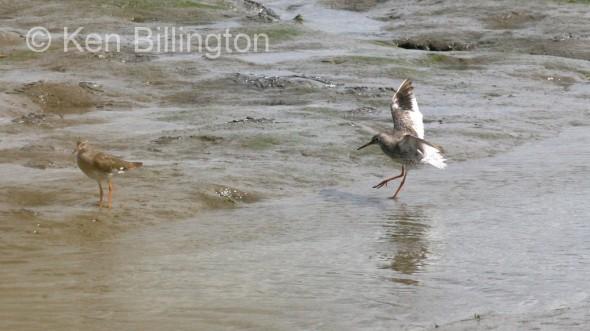 Redshank (Tringa totanus) (06)