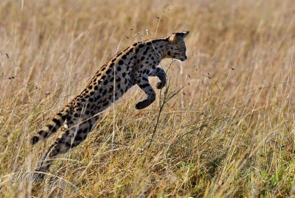 Serval Cat Hunting