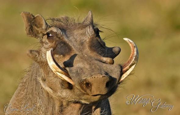 Warthog -  Character!