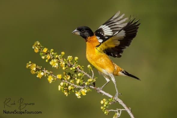 Black-headed Grosbeak Takeoff