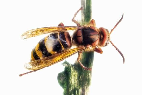 Hornet King 4