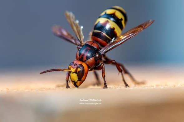 Hornet King 1