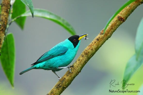 Green Honeycreeper with Wasp