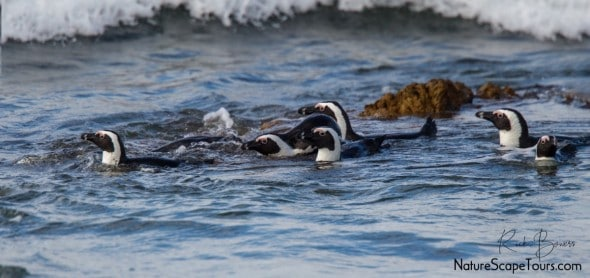 African Penguins in the Surf
