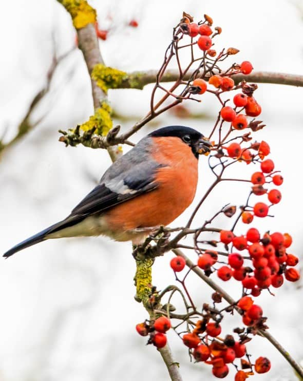 Bullfinch on Berries