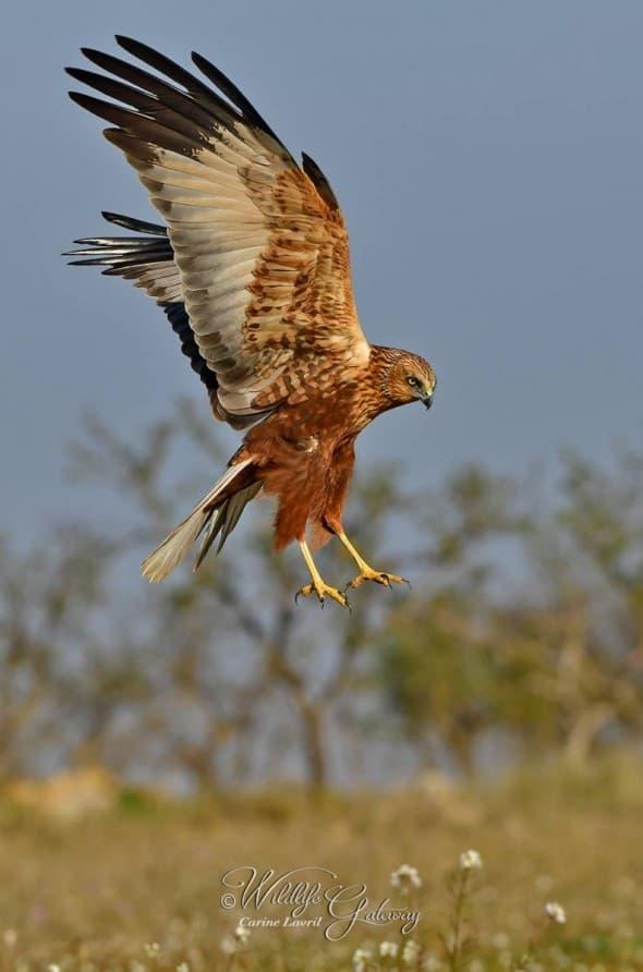 Marsh Harrier Male