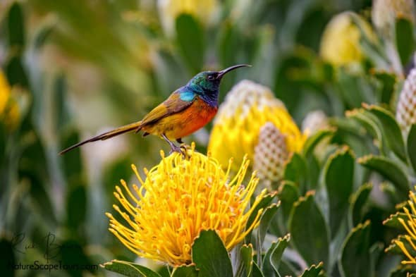 Orange-breasted Sunbird on Protea Flower